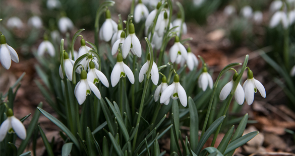Snowdrops in spring - Okanagan Valley