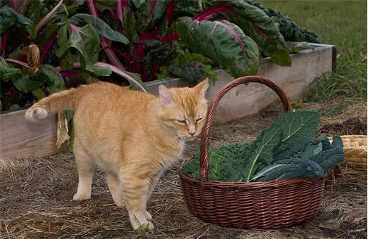 Billy the cat at Valentine Farms in Summerland, BC