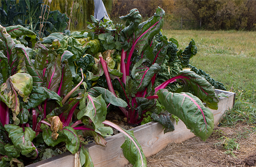 Swiss Chard in November - Valentine Farm Summerland BC