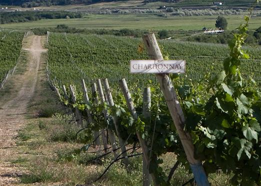 Burrowing Owl Chardonnay vines - winner of the Summerland Online Chardonnay tasting