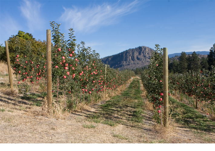 Apple orchard with Giant's Head Mountain in background