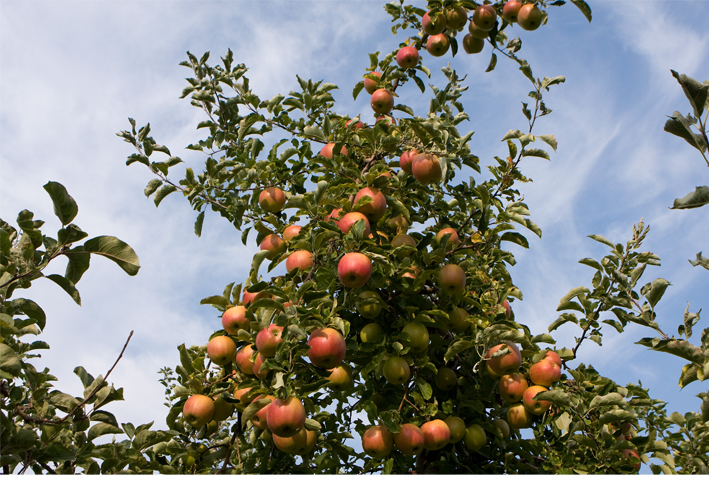 Orchard for Summerland Heritage Cider Company